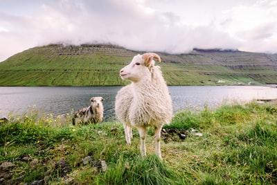 雄大な自然を背景に羊が横を向いて立っている