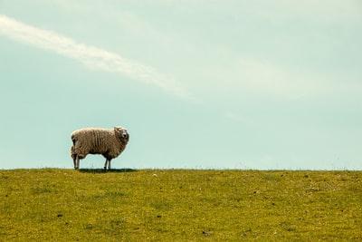 青空の下の草原で羊が一匹立ちすくんでいる